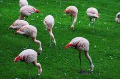 Flamingo's Stock Afbeeldingen