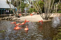 Flamingo`s bathing and enjoying life. DAVIE, FL, USA - JANUARY 21, 2018: American and Greater Flamingo`s bathing and having a good time at the local watering royalty free stock photography