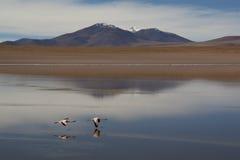 Flamingo's bij de hooglanden Royalty-vrije Stock Afbeeldingen