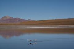 Flamingo's bij de hooglanden Stock Afbeeldingen