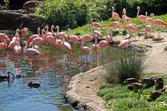 Flamingo's bij een meer stock fotografie