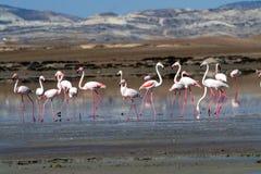 Flamingo's bij een zout meer Royalty-vrije Stock Afbeeldingen
