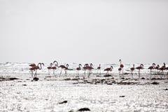 Flamingo's bij het strand Stock Afbeeldingen