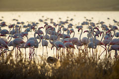 Flamingo's bij lagune Fuente DE Piedra stock foto's