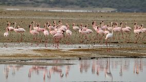 Flamingo's bij Meer Magadi, Rift Valley, Kenia stock foto