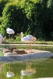 Flamingo's binnen een vijver stock fotografie