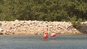 Flamingo's on Bonaire stock video