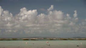 Flamingo's on Bonaire stock footage