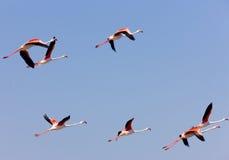 Flamingo's in Camargue Royalty-vrije Stock Afbeeldingen