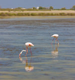 Flamingo's in Camargue Stock Afbeeldingen