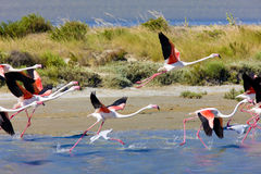 Flamingo's in Camargue Royalty-vrije Stock Foto's