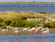 Flamingo's in Camargue Stock Afbeelding