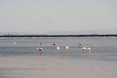 Flamingo's in Camargue Stock Afbeelding