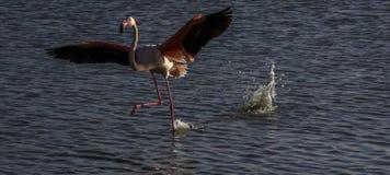 Flamingo's in Camargue, Frankrijk Royalty-vrije Stock Foto's