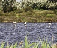 Flamingo's Stock Photography