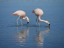 Flamingo`s in Chile royalty free stock photo