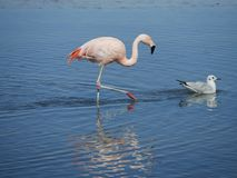 Flamingo`s in Chile stock image