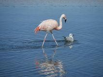 Flamingo`s in Chile stock photo