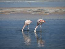 Flamingo`s in Chile royalty free stock images