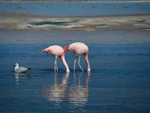 Flamingo`s in Chili stock photos