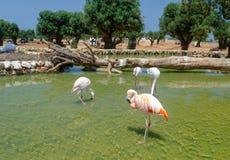 Flamingo's in de safaridierentuin Italië van Fasano Apulia stock foto