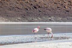 Flamingo's dicht bij laguna Royalty-vrije Stock Fotografie