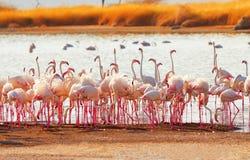 Flamingo's dichtbij Bogoria-Meer, Kenia Stock Fotografie