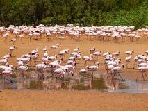 Flamingo's dichtbij Walvis-Baai Stock Afbeeldingen