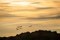 Flamingo's die in de zonsondergang vliegen royalty-vrije stock foto