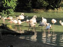 Flamingo's die een bad hebben stock afbeelding