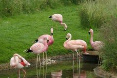 Flamingo's die een Drank hebben stock afbeeldingen