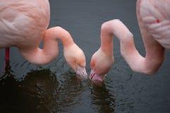 Flamingo's die in harmonie eten Stock Afbeelding
