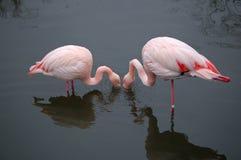 Flamingo's die in harmonie eten Stock Fotografie