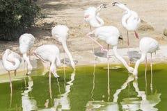 Flamingo's die op de kust van een vijver rusten Stock Foto's
