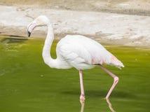 Flamingo's die op de kust van een vijver rusten Stock Foto