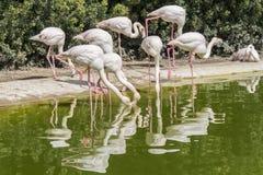 Flamingo's die op de kust van een vijver rusten Royalty-vrije Stock Afbeeldingen