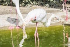 Flamingo's die op de kust van een vijver rusten Stock Fotografie