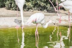 Flamingo's die op de kust van een vijver rusten Royalty-vrije Stock Foto