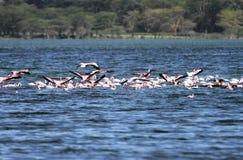 Flamingo's die op water rusten Stock Afbeeldingen