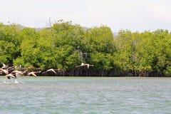 Flamingo's die over de Caraïbische Zee vliegen stock foto's