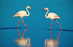 flamingo's die rond de lagune lopen en voedsel zoeken stock fotografie