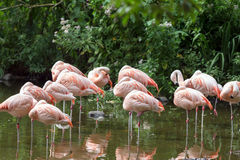 Flamingo's die in water rusten Stock Fotografie