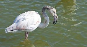 Flamingo's die zich in het water bevinden stock foto