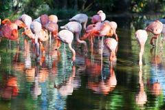 Flamingo's die zich in vijver bevinden Royalty-vrije Stock Afbeelding