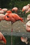 Flamingo's in dierentuin Royalty-vrije Stock Afbeeldingen