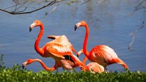 Flamingo's door een meer Stock Afbeeldingen