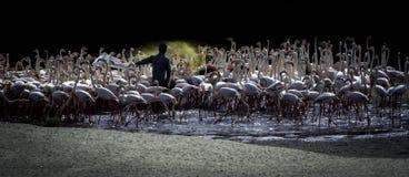 Flamingo's, Doubai, de V.A.E, GCC royalty-vrije stock foto