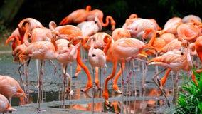 Flamingo's in een meer Royalty-vrije Stock Fotografie