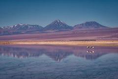 Flamingo's in een rustig meer worden weerspiegeld dat stock afbeeldingen