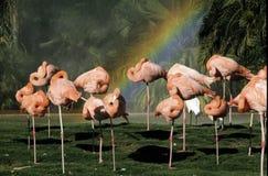 Flamingo's en een Regenboog Stock Fotografie